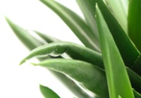 Superfoods for a super you: Aloe vera