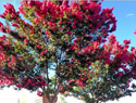 10 Flowering trees that grow well in warm climates
