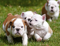 10 Reasons why English Bulldog puppies are the cutest things ever