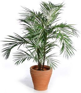 ARECA PALM