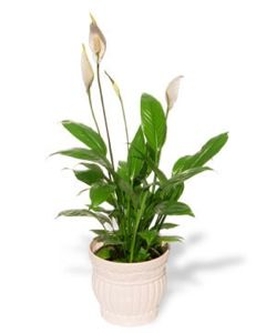 plants for a healthy home
