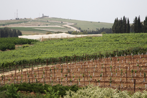 Vineyard in Israel