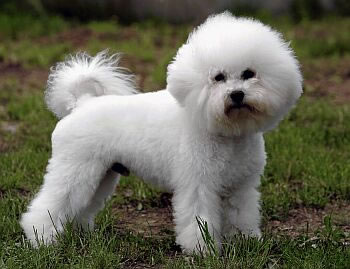 10 bichon frise don t let the puffy coat fool