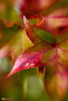 autumn leaves iPhone background