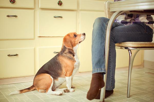 Dog begging for table food