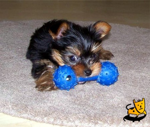 yorkshire terrier with chew toy