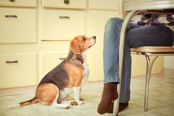 Beagle begging for food