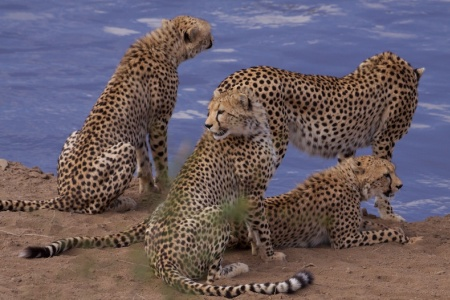 African Cats' cheetah family