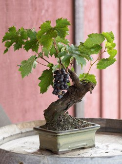 Wine Grape Bonsai