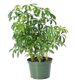 Schefflera