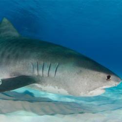 Many sharks in the sea
