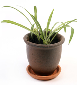 Spider plant