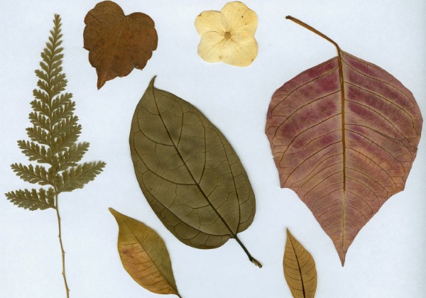 Pressed leaves