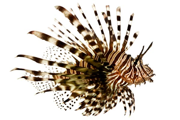 "Lionfish: ""Light and delicately flavored"""