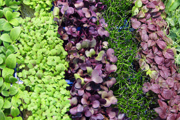 Edible microgreens