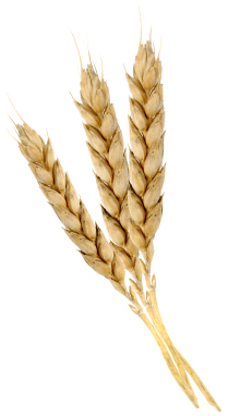Wheat germ