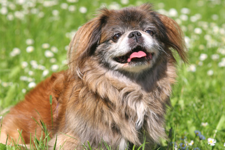 Meet the breed -- pekingese