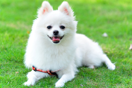 Meet the breed: Pomeranian