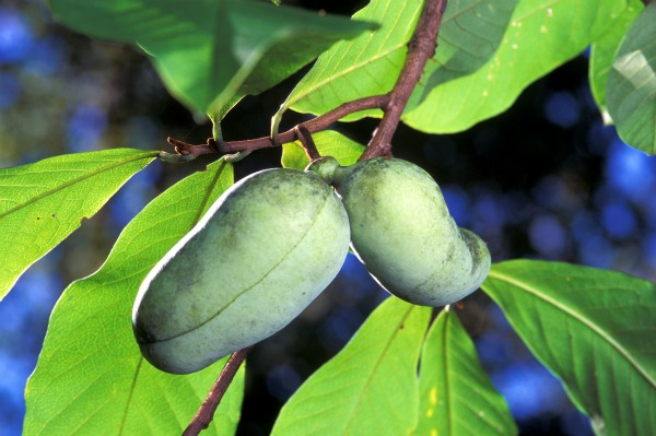 Paw paw tree