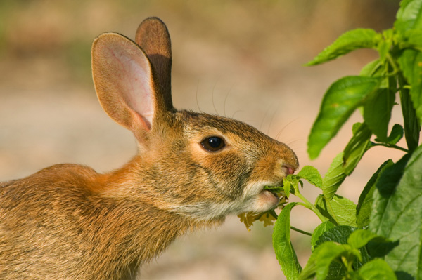 Rabbit eating garden plant