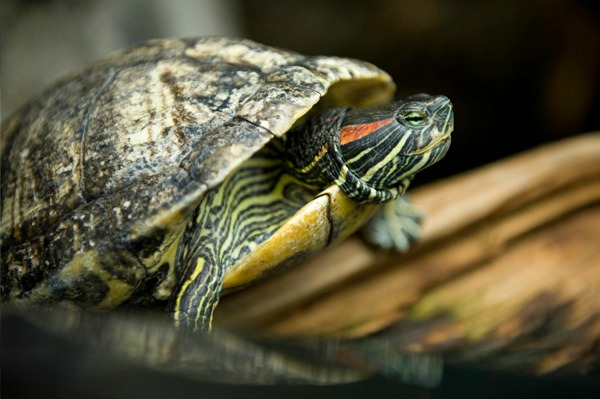 Pet turtle in a tank