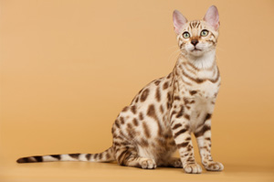 Bengal cat