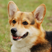 Welsh corgi