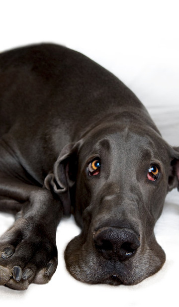 World's biggest dog is really a softy