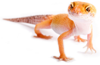 Geckos