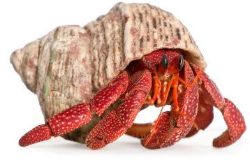Hermit crabs