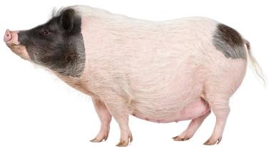 Pot bellied pigs