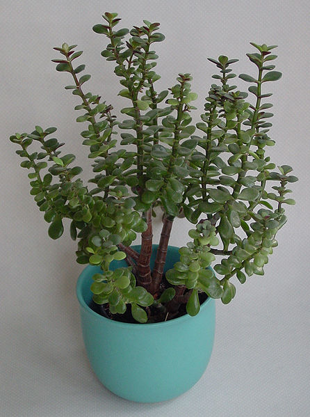 jade plant
