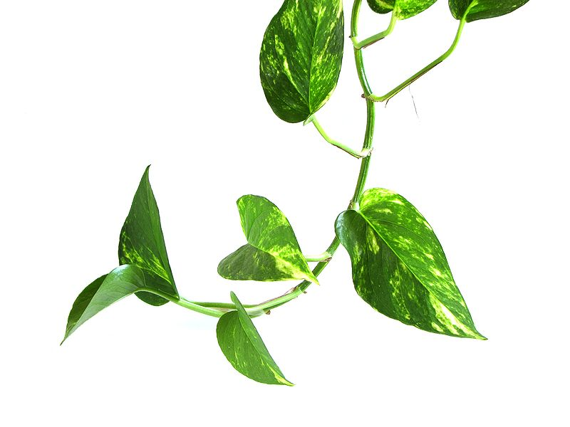 pothos