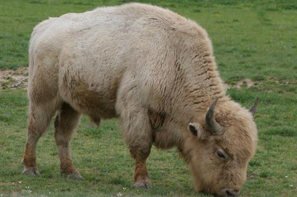 Tupelo Buffalo