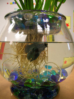 Long Betta Fish Live on Choose The Vase The Most Important Thing To Consider When