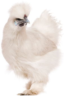Silky chicken