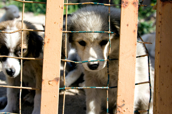 Sad dogs from breeder