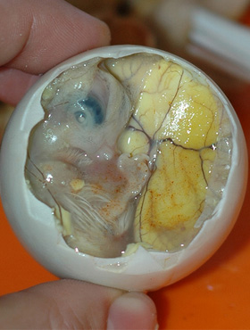 Balut