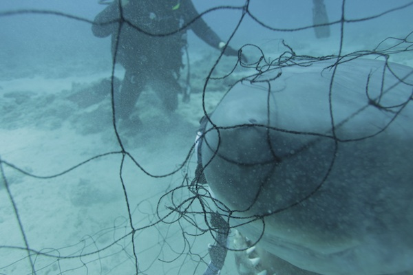 shark caught in a net