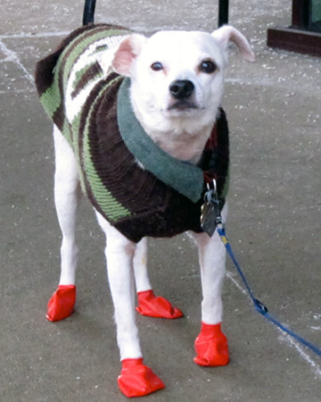 Dog wearing booties