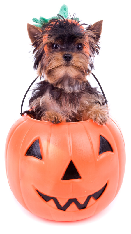 cute dog in pumpkin