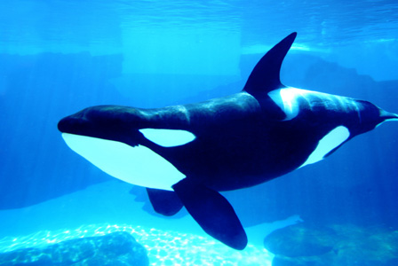 Killer whale in tank