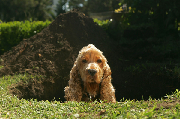 Cocker spaniel digging