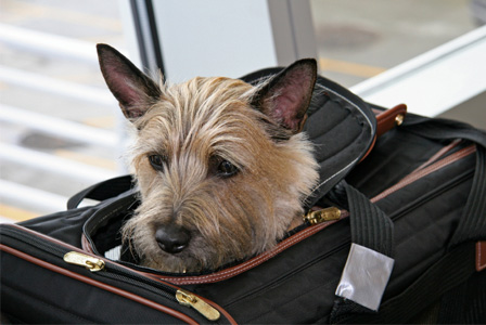 Dog in airport travel bag