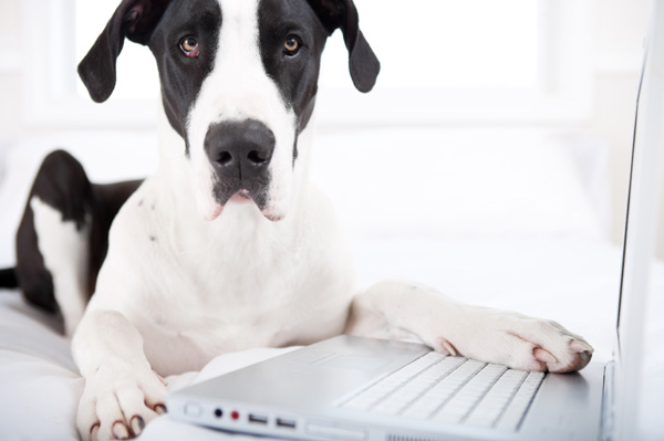 Great dane using laptop