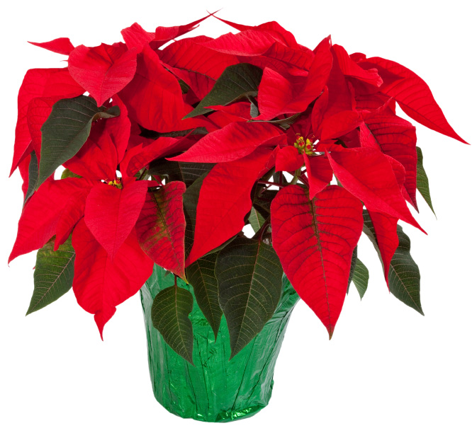 Poinsettias How To Keep Them Thriving Year Round