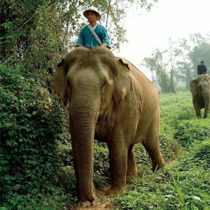 Elephant driving in Thailand