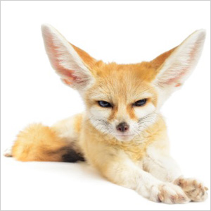 Fennec fox