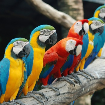 Macaw