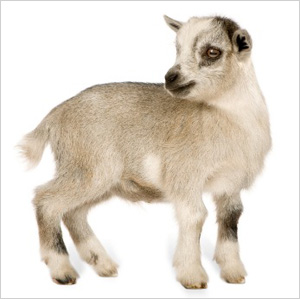 Pygmy goat